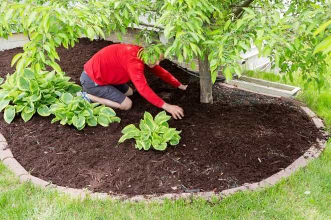 Male working in the garden kneeling in a flowerbed spreading the mulch around a tree trunk